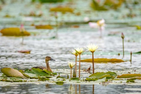 professional Nature photo at lotus pond at Singapore Kranji Marshes, by Tuckys